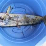 The big catch fading away in the fin bucket.