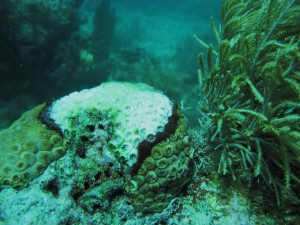 Black band disease on a coral cluster.  This disease has wiped out many corals.