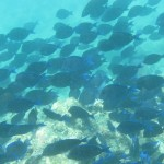 A big school of blue tang came swimming by.