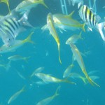 Sargent Majors and Yellowtail Snappers