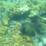 French Angelfish at Looe Key