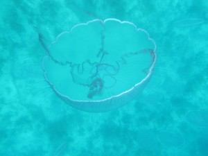 Here is a closeup of the moon jellyfish, which has plagued us for three weeks now.