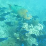 This rainbow parrotfish is a biggie!