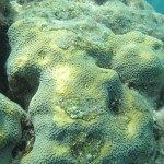 Here's what stressed coral looks like.  Patches of algae compete for space on the reef where other coral polyps have died off.  The water has been hot lately, so this coral is bleaching out too.  Notice the paler polyps, they have purged their symbiotic algae that not only give the coral color, but helps the coral gain nutrients/food.