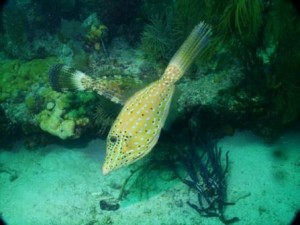 Two Filefish