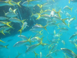 Yellowtail snapper under boat